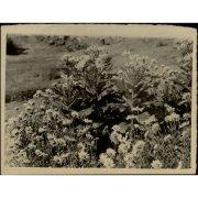 Фотография. Окультуренные сенеция и ромашка-нивяник