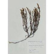 Гербарный лист. Кассиопея вересковидная