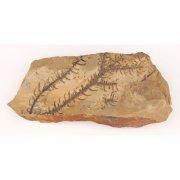 Образец горной породы с палеофлорой