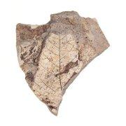Отпечаток листа птерокарии