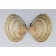Раковина двустворчатого моллюска