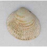 Створка раковины двустворчатого моллюска