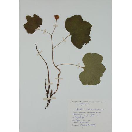 Гербарный лист. Морошка