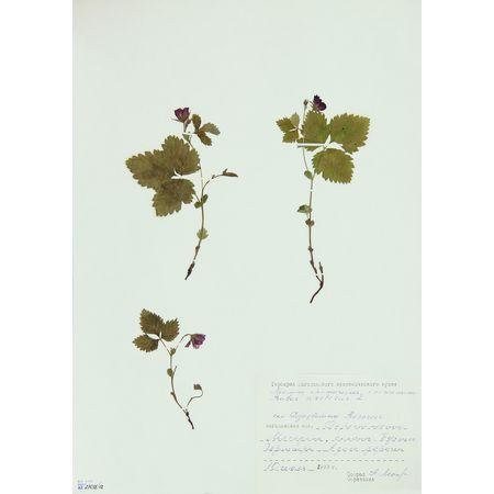 Гербарный лист. Малина арктическая