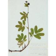 Гербарный лист. Сабельник болотный