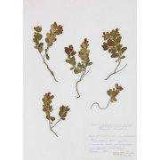 Гербарный лист. Брусника обыкновенная