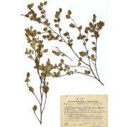 Гербарный лист. Береза кустарниковая, дальневосточная