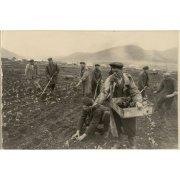 Фотография. Посадка капусты