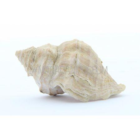 Раковина брюхоногого моллюска