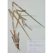Гербарный лист. Осока вздутоносая