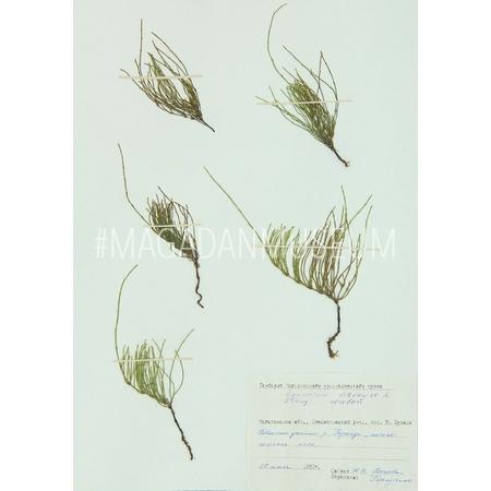 Гербарный лист. Хвощ полевой