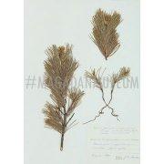 Гербарный лист. Сосна стланиковая